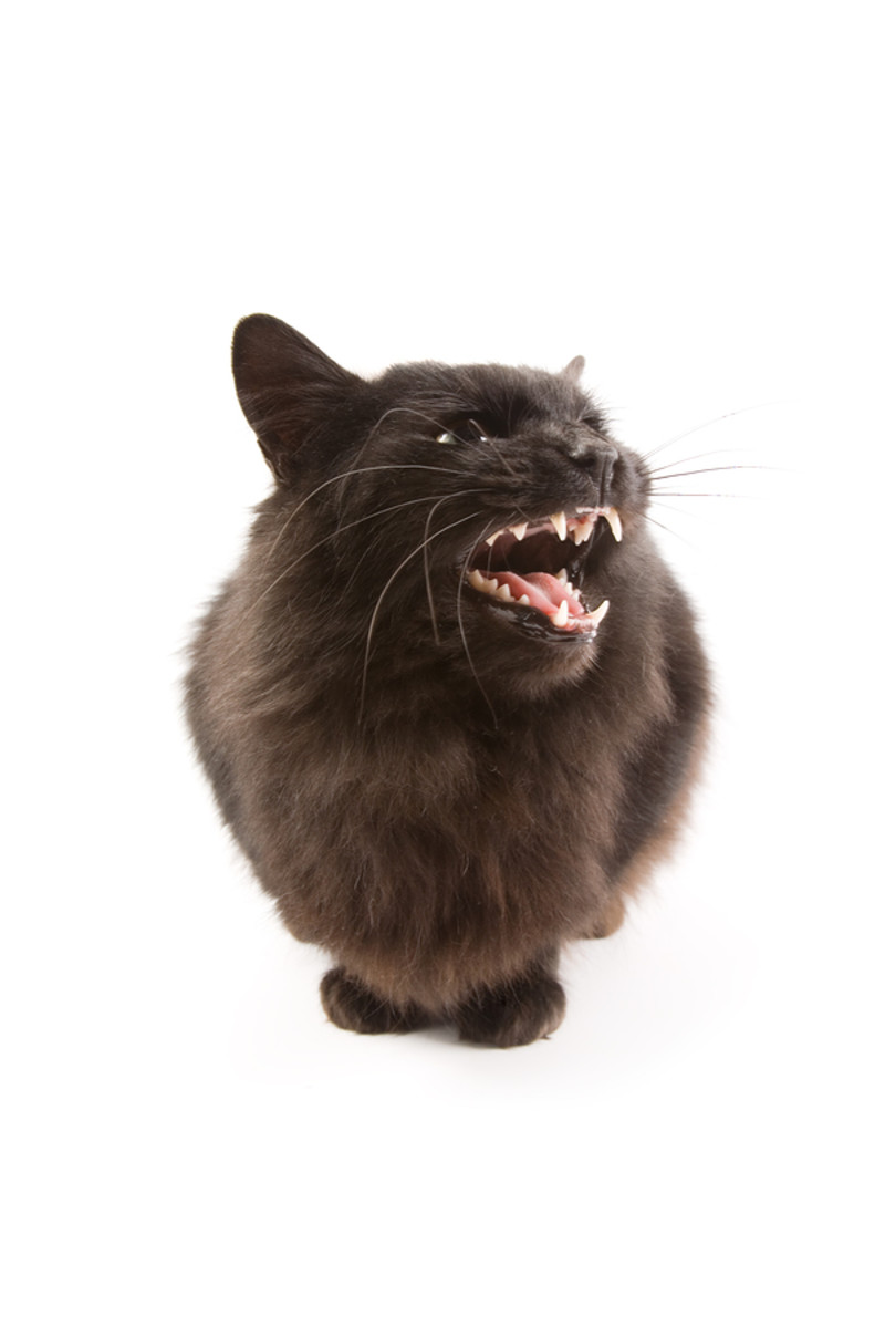You don't need to see the tail to know that this cat is VERY ANGRY!