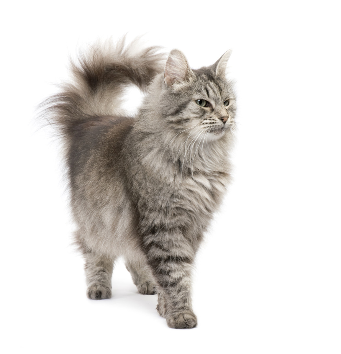 This cat's tail is in the question-mark position. He is happy and playful!