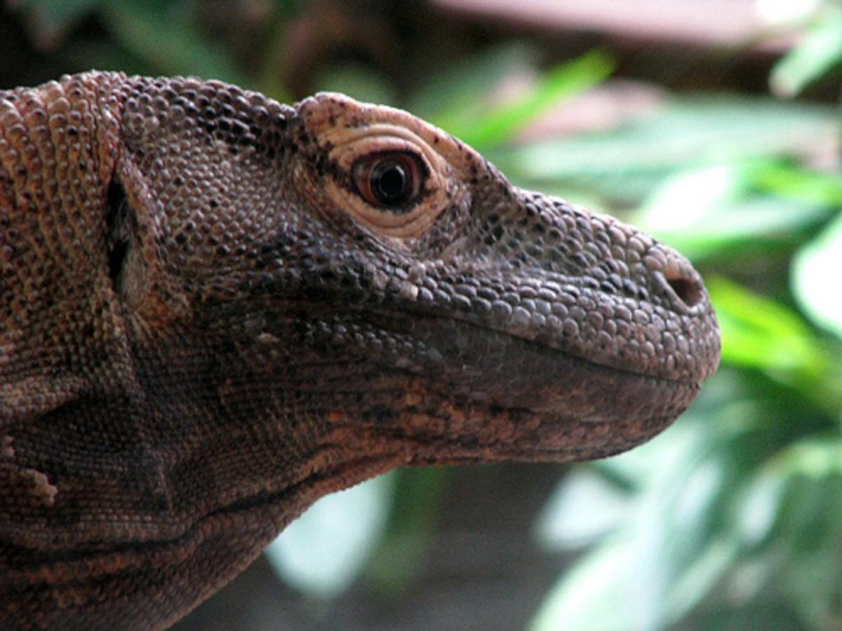 Komodo Dragon Problems
