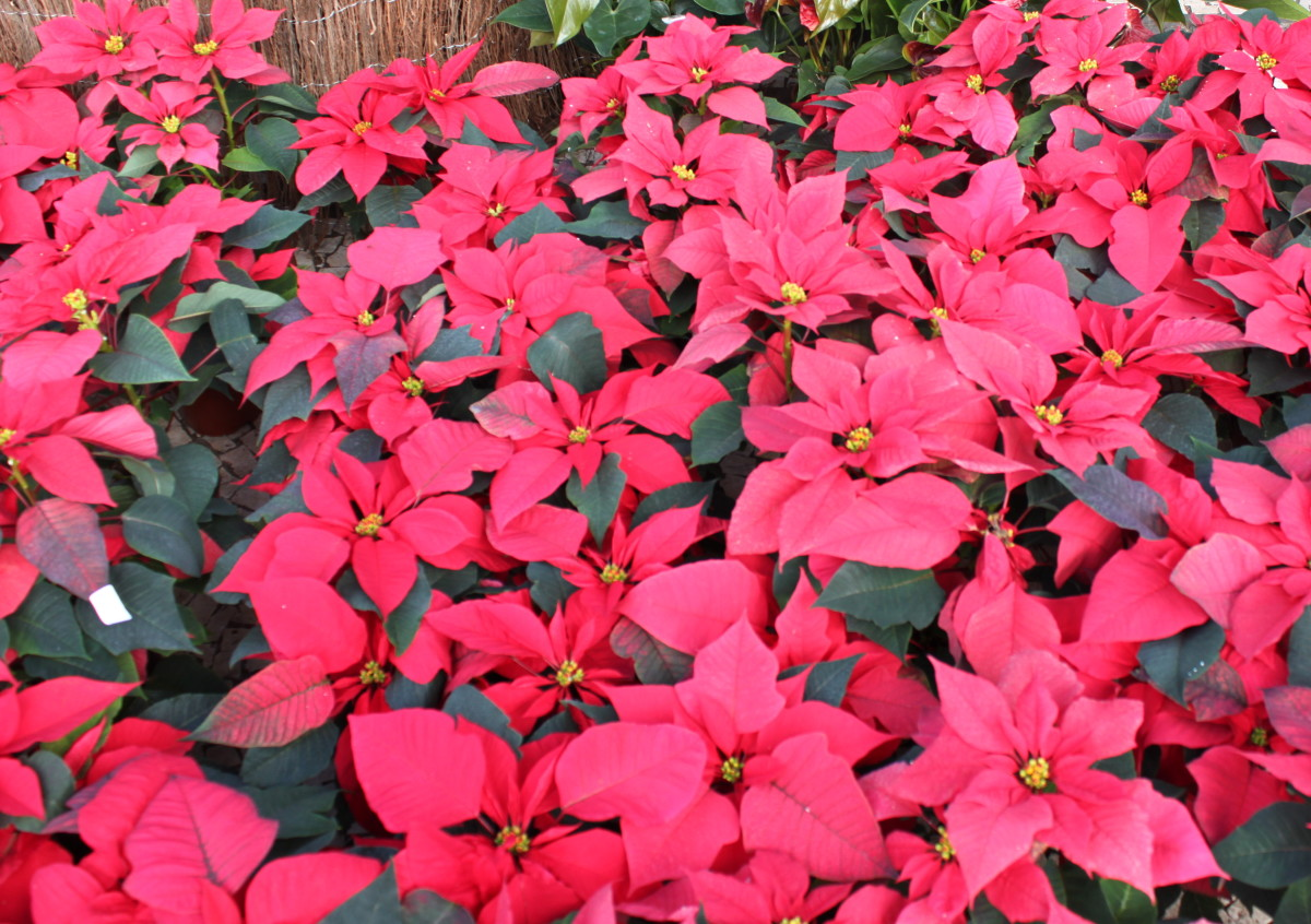 Poinsettia Flowers At The Christmas 24 hour Market