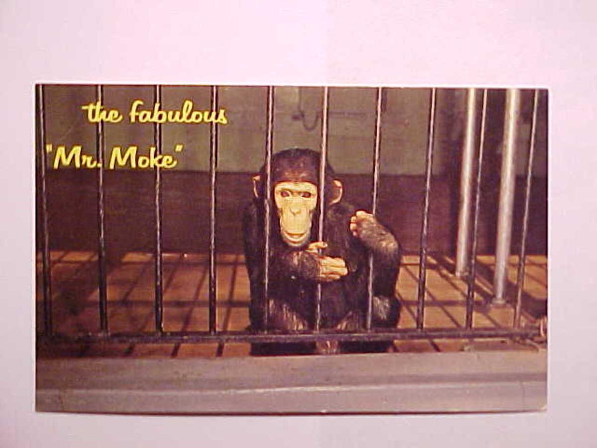 Mr Moke the Talking Chimpanzee