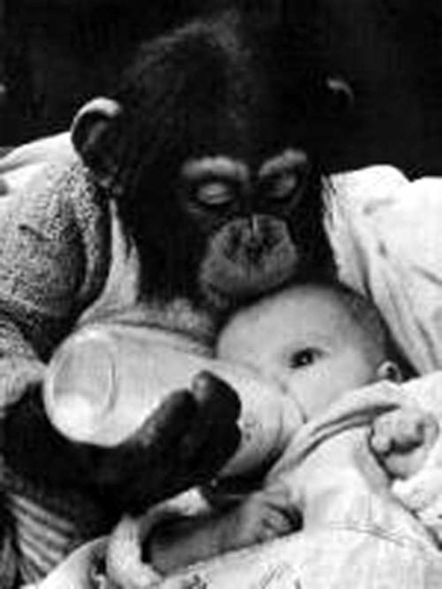 mr-moke-the-talking-chimpanzee