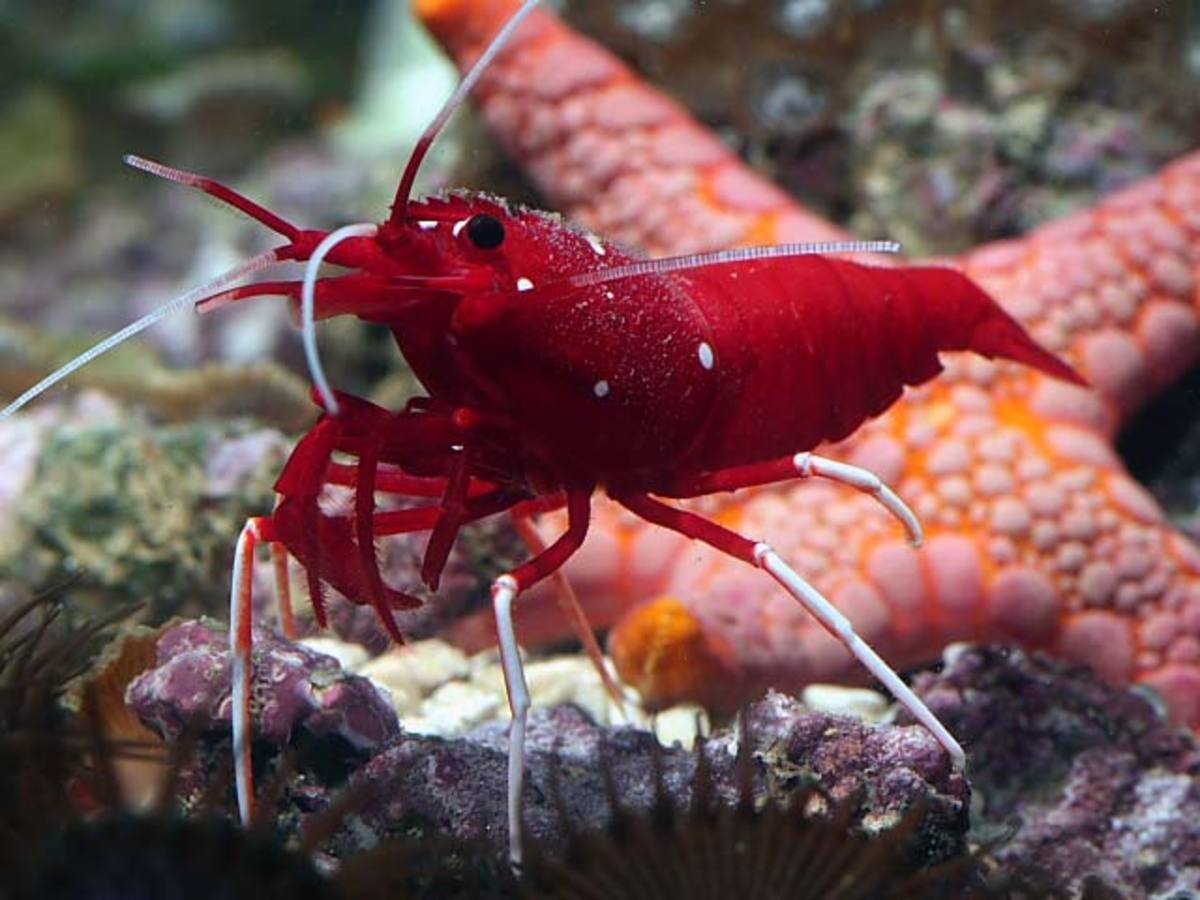 Fire Shrimp - Facts On The Beautiful Fire Shrimp