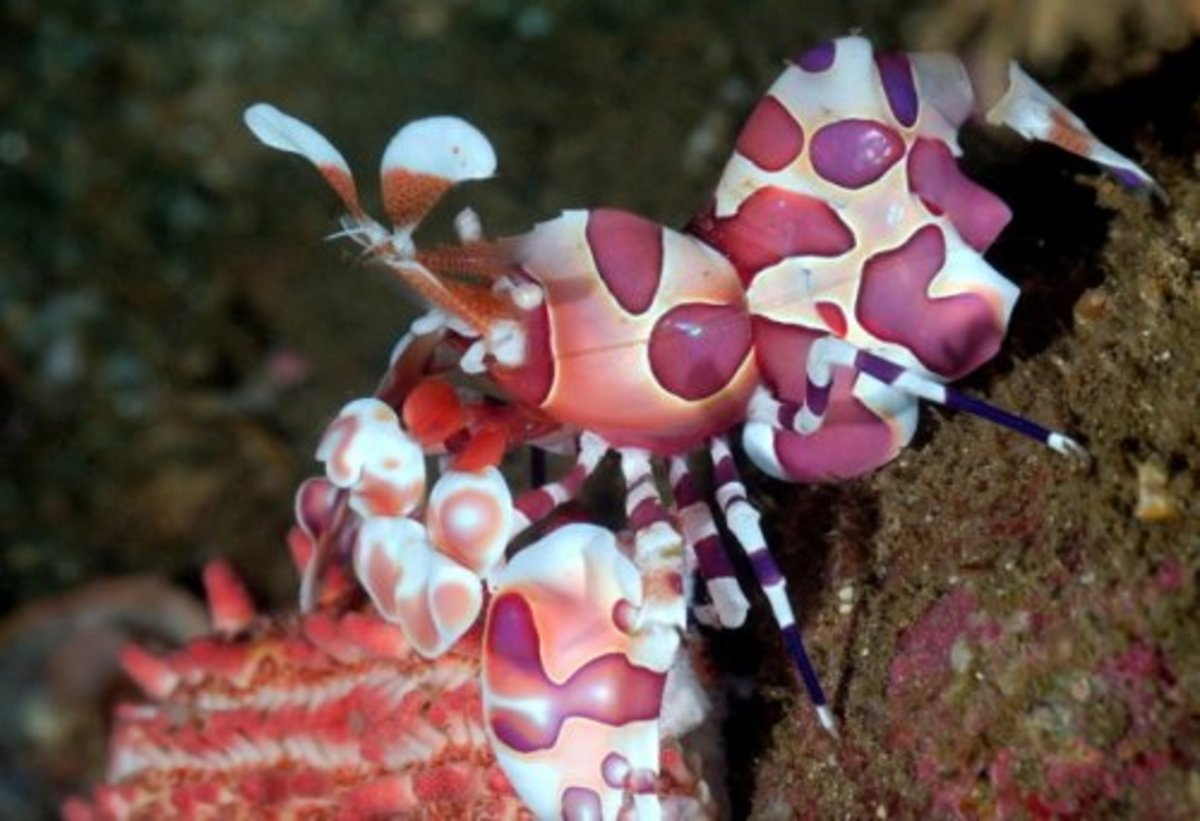 Harlequin Shrimp - Facts On The Stunning Harlequin Shrimp