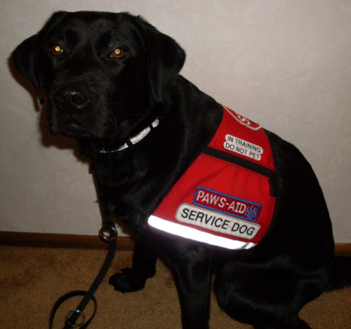 A service dog for a person with an invisible disability.