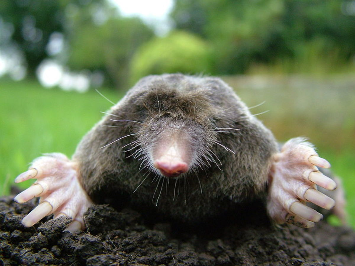 Moles work harder before rain