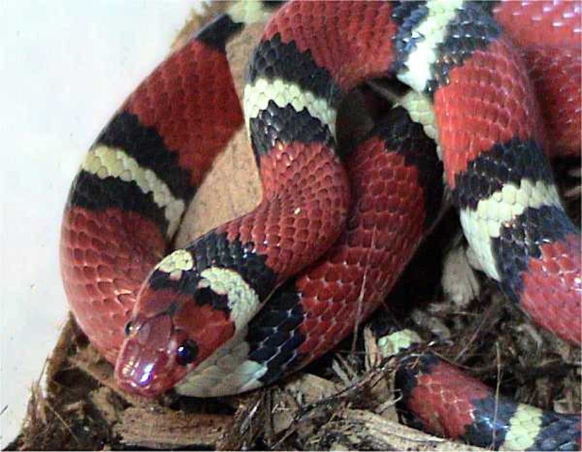 Beautiful Scarlett King Snake