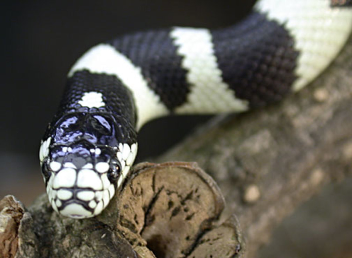 California King Snake. There are several color variations of the California King Snake.