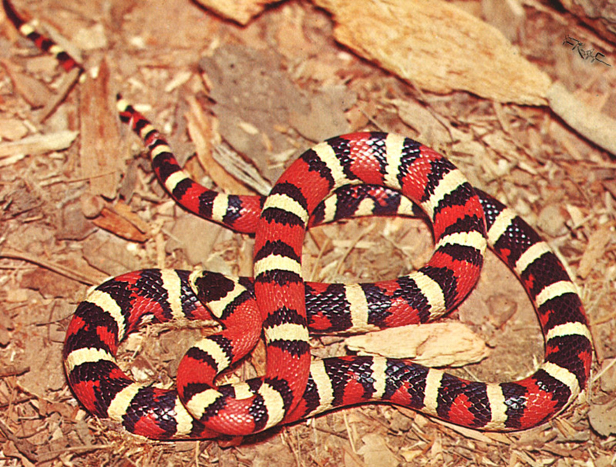 Scarlett King Snake. This color version of the King Snake is quite often confused with the coral snake.