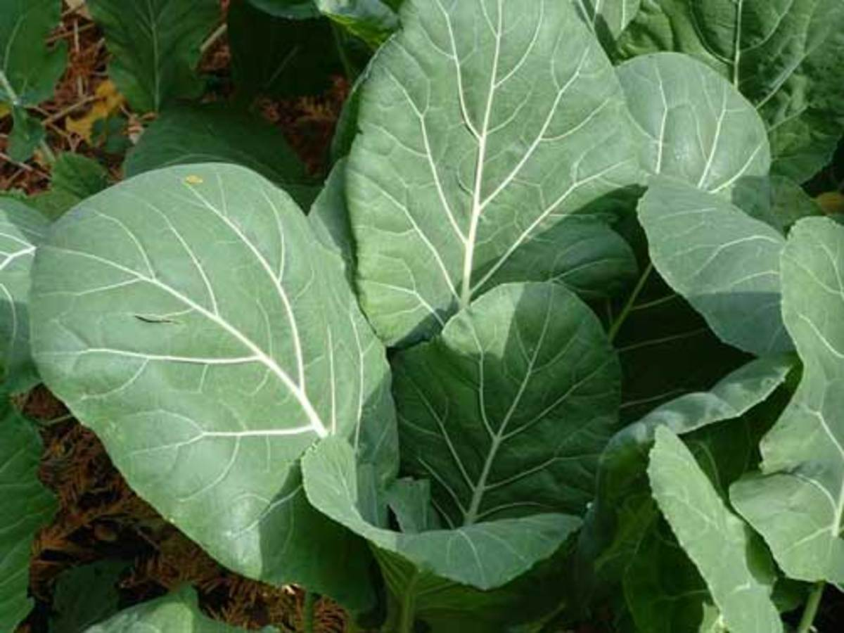 Fresh, Grown Collard Greens