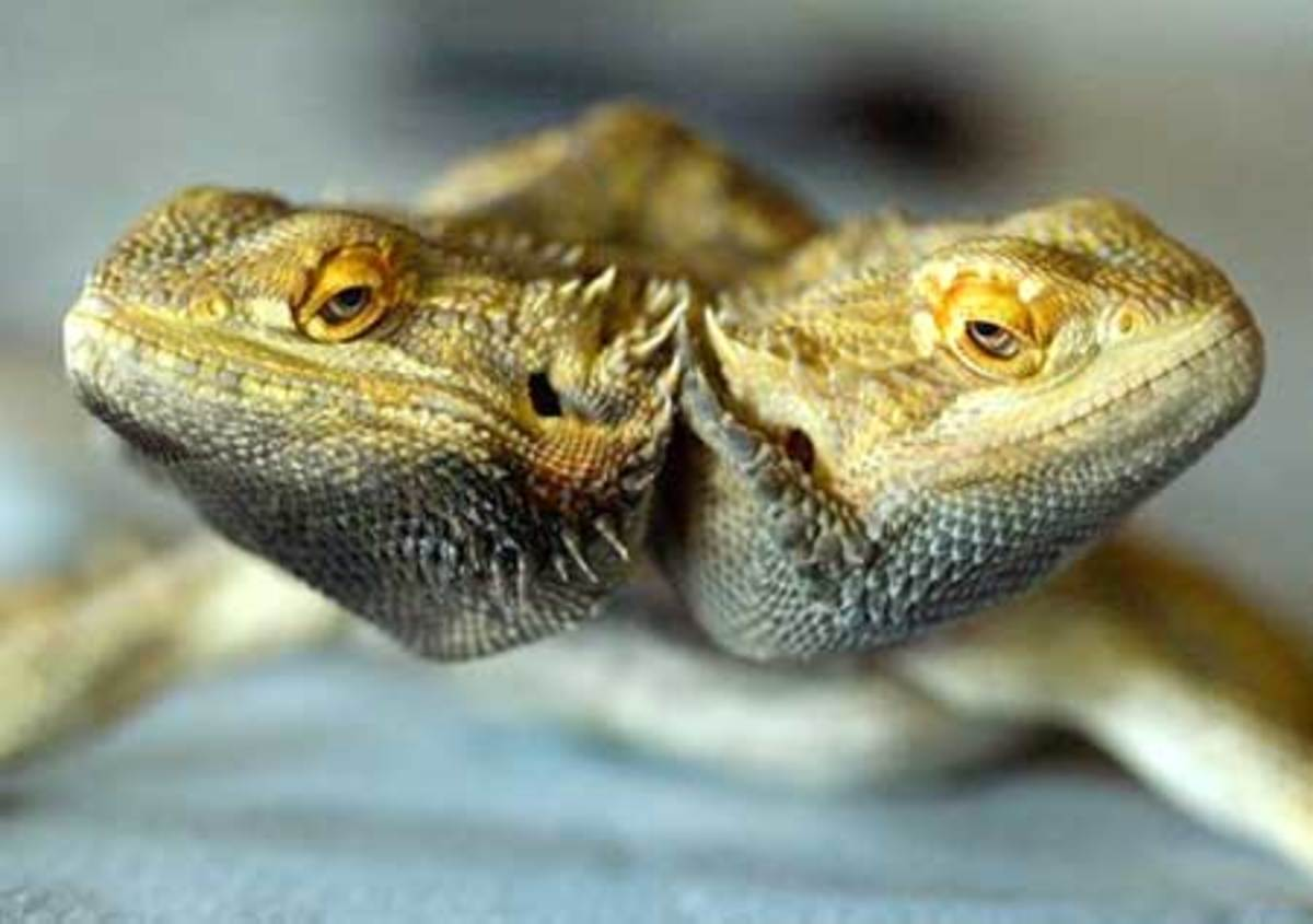 Rare two headed lizard where both heads work perfectly.
