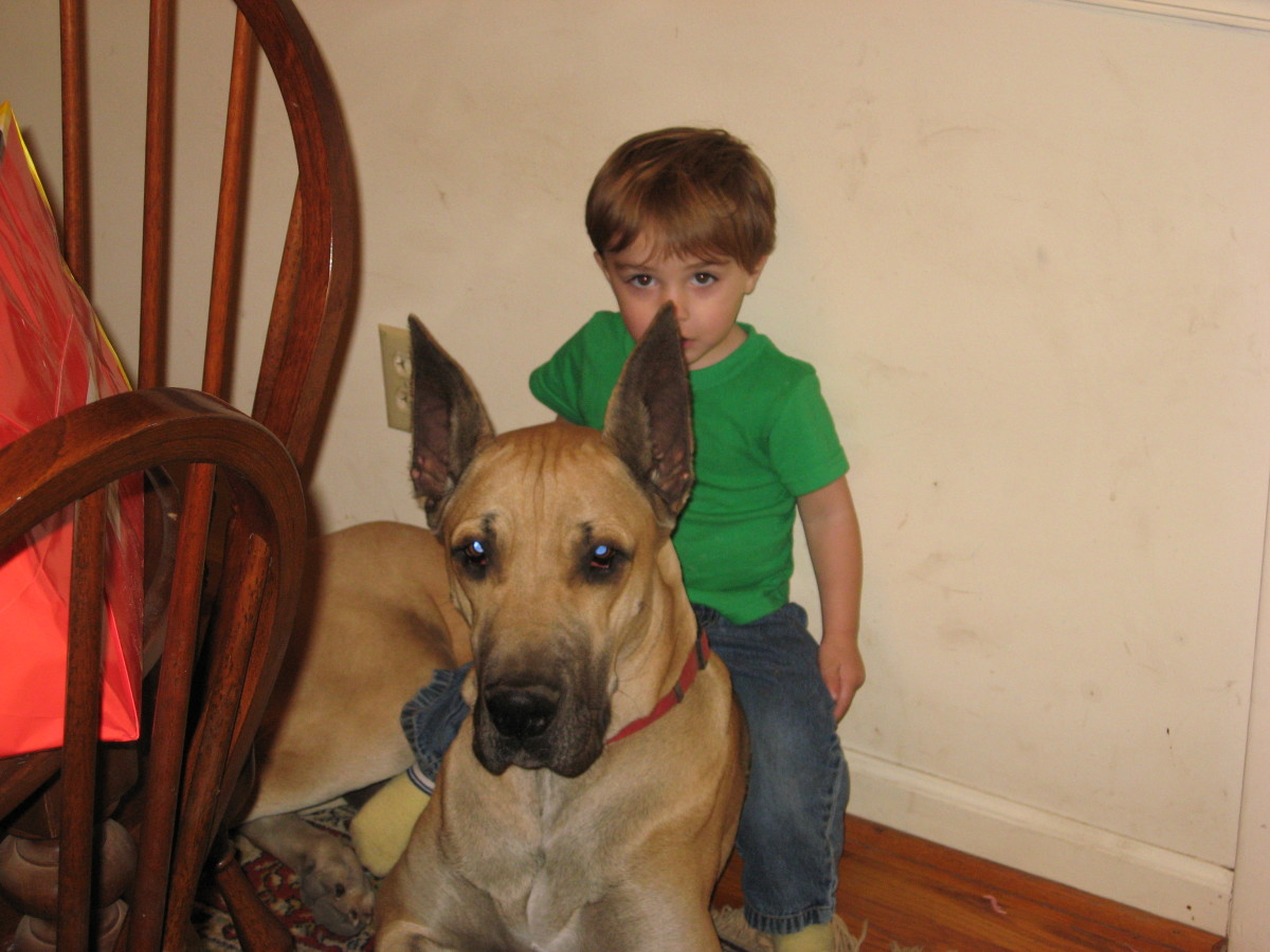 Great Danes love kids!