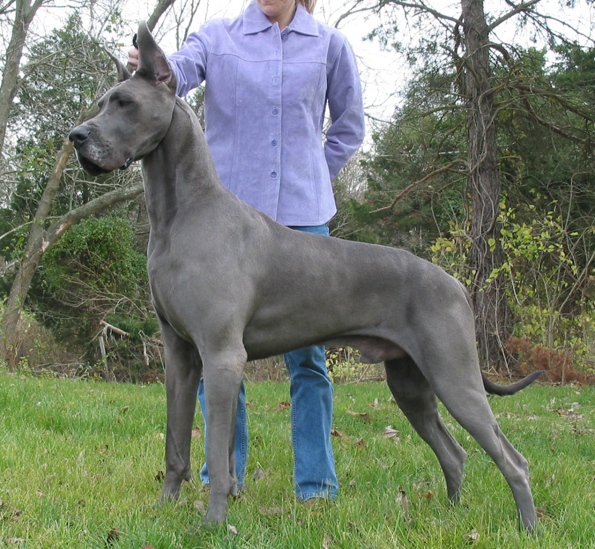 This gorgeous Blue Great Dane is from Von Knopf Danes.  Visit their great website: www.vonknopfdanes.com