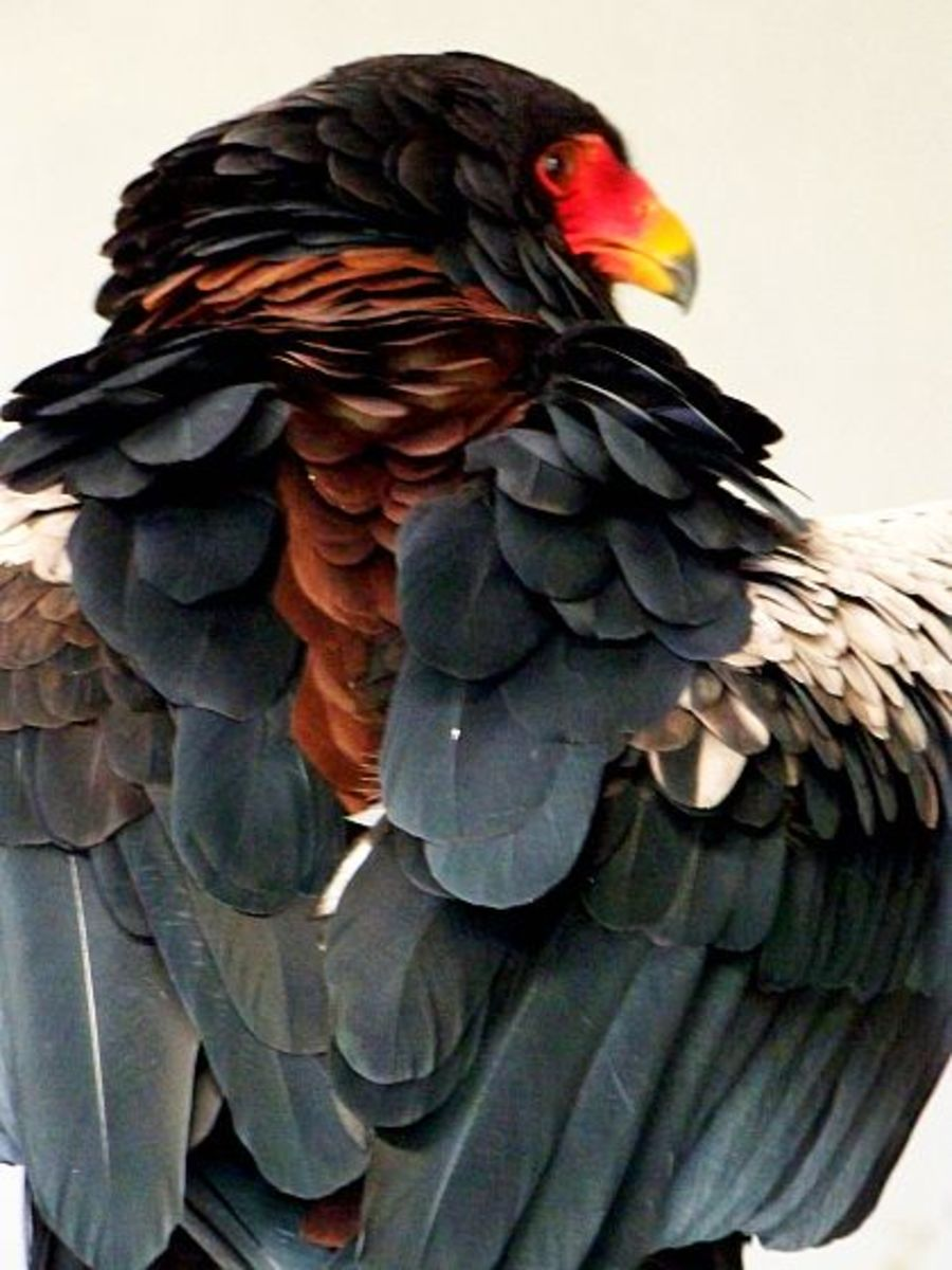 Stoffel, he is a 45 year old Bateleur Eagle from South Africa photo/L Godfree
