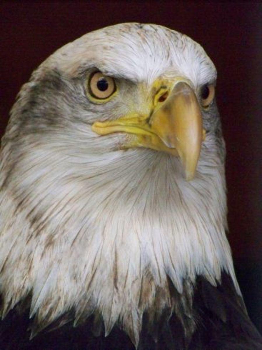 North American Bald Eagle photo/L Godfree