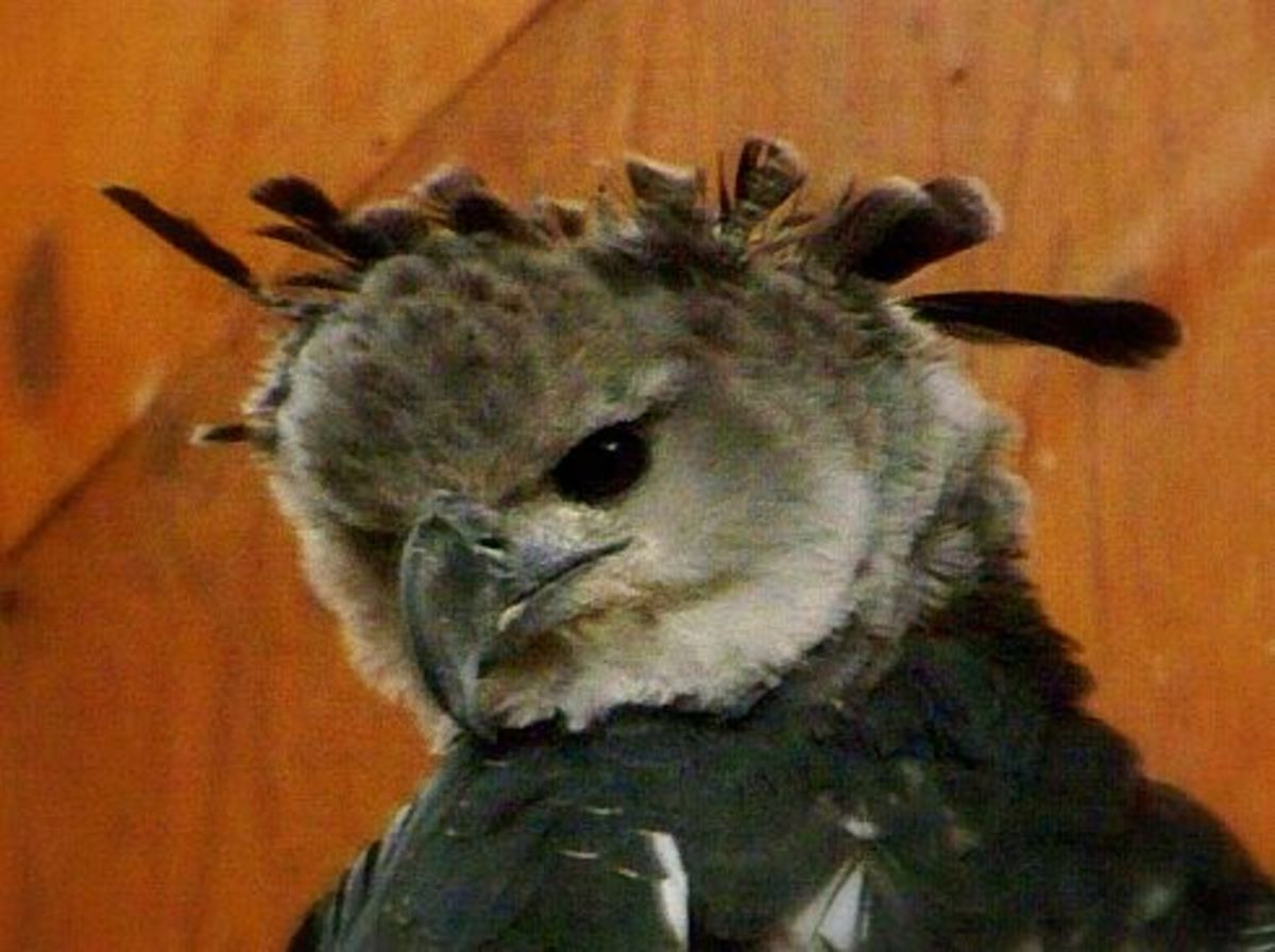 Harpy Eagle is the biggest of all Eagles photo/L Godfree
