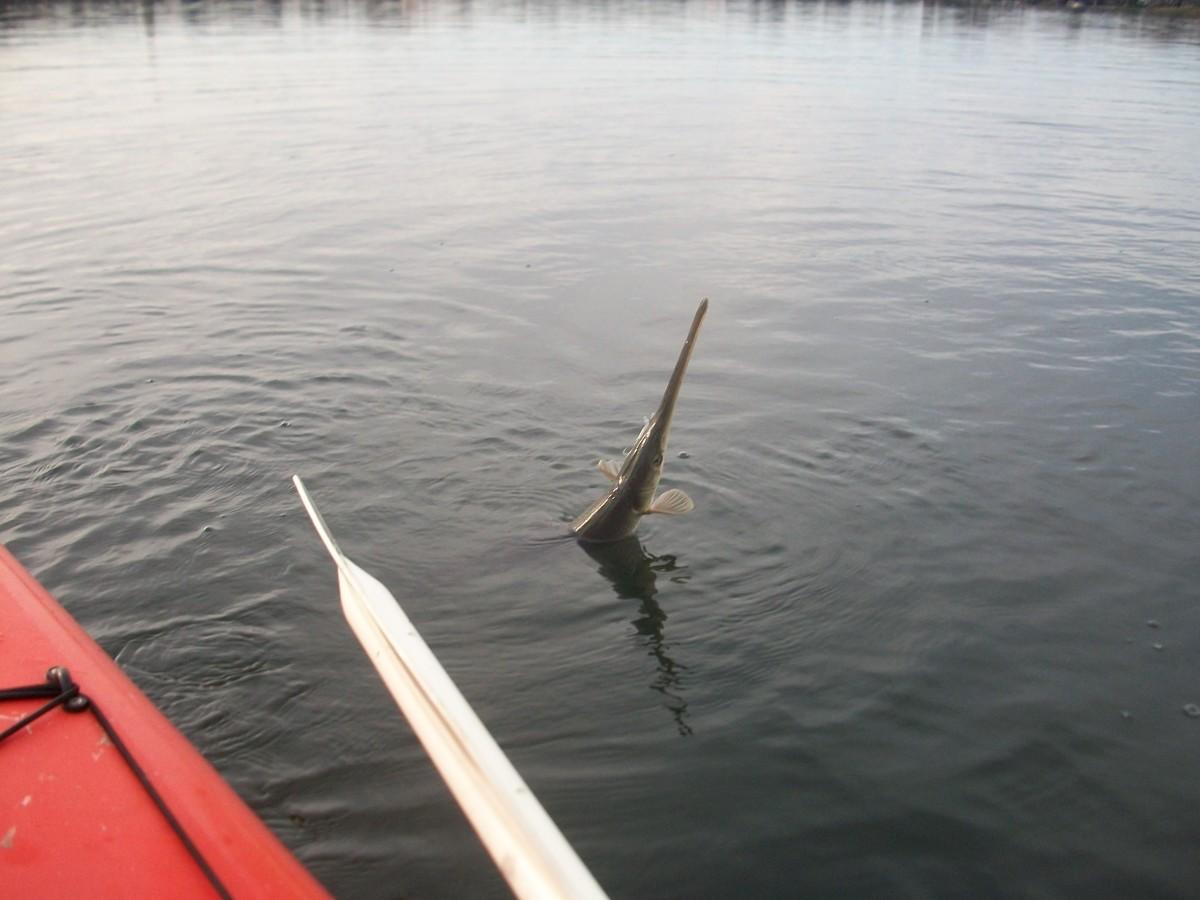 Gar on Lake Virginia