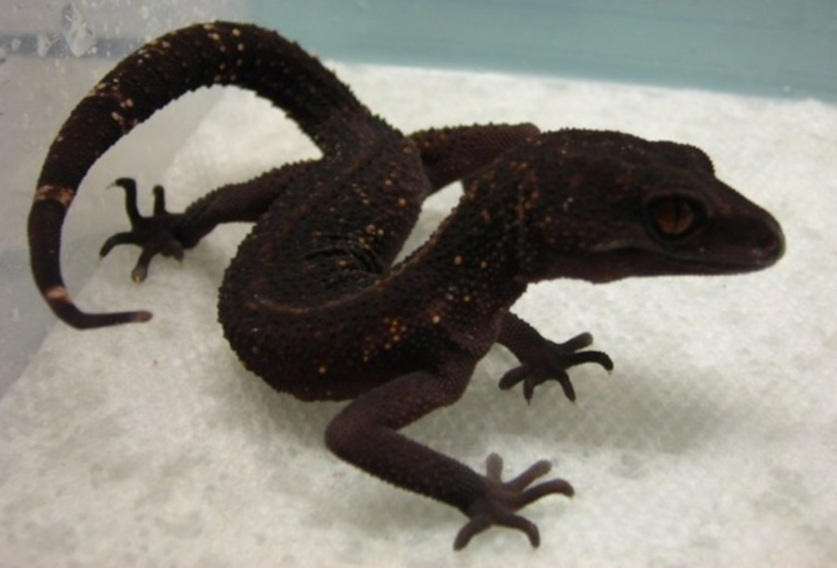 cave-geckos