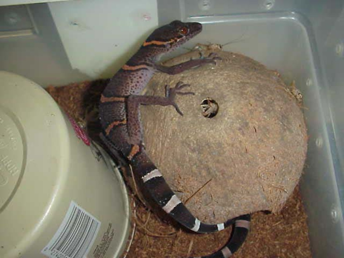 Caring for Cave Geckos