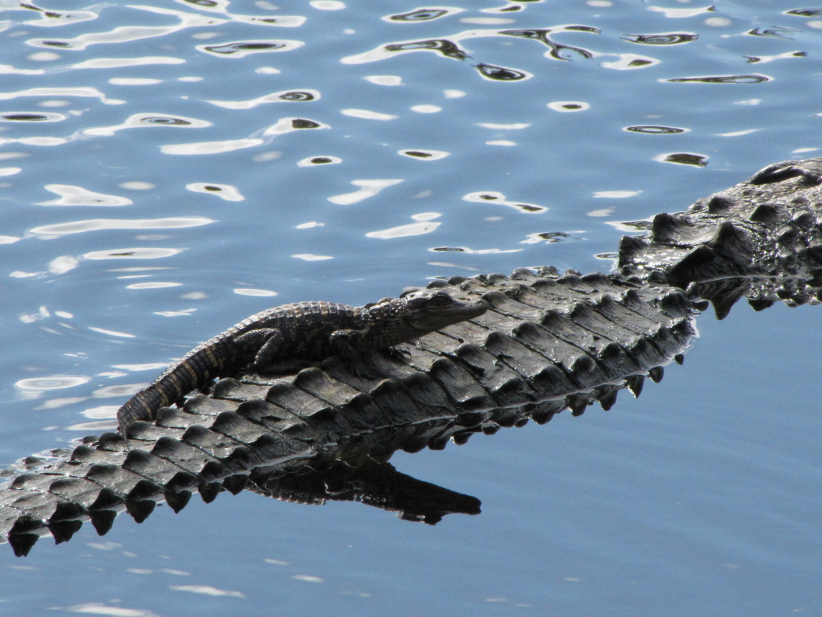 It took me years to be in the right place with my camera to get this shot of a baby alligator on its mother's back.