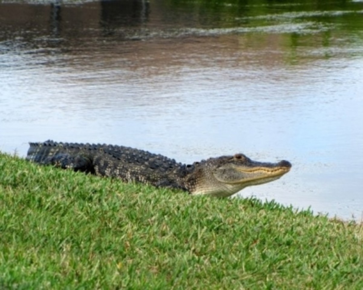 A Good-Sized Alligator (my photo)