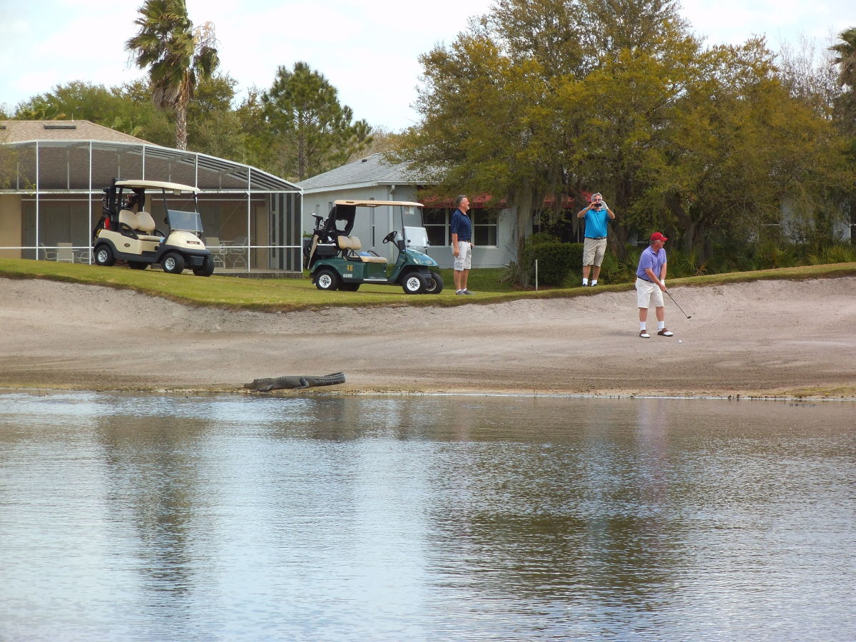 Golfers keep a close eye on an alligator while their buddy hits the ball.