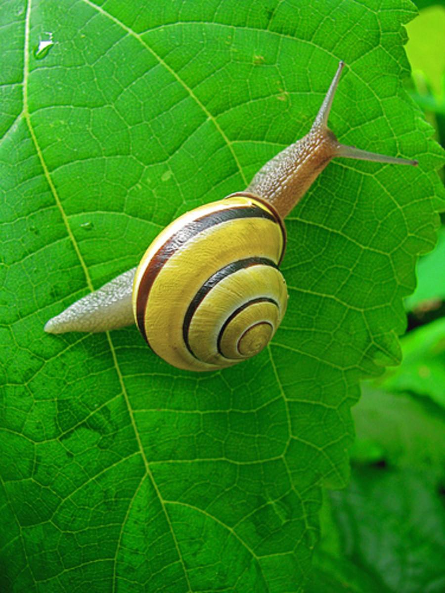 Snail shell shape
