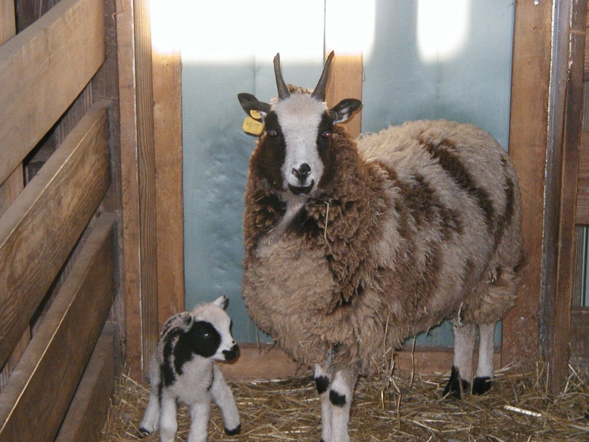Jacob Sheep & Baby