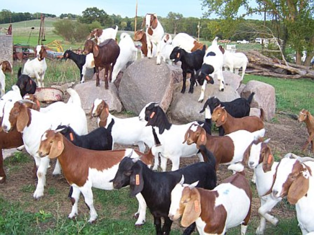 Boer Goats (Raised as meat goats)