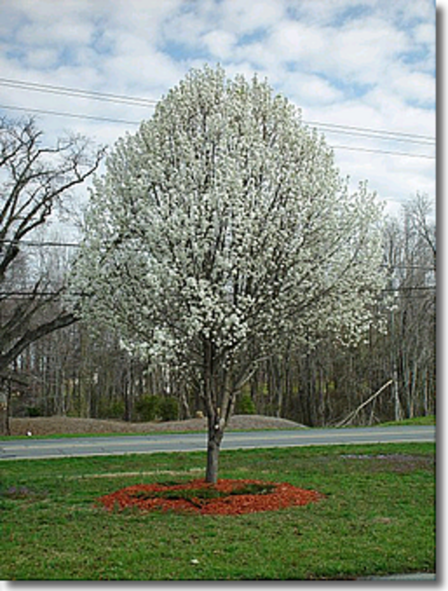 Bradford Pear - These trees are the first to bloom in the Spring - they always keep their perfectly round shape!