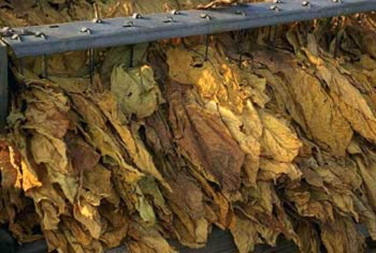 Kentucky still leads the nation in burley tobacco production, even  though the federal tobacco price support program was discontinued in  2005. The state is second in the U.S. in total tobacco production and is  in the top 20 in corn, soybeans, winter w