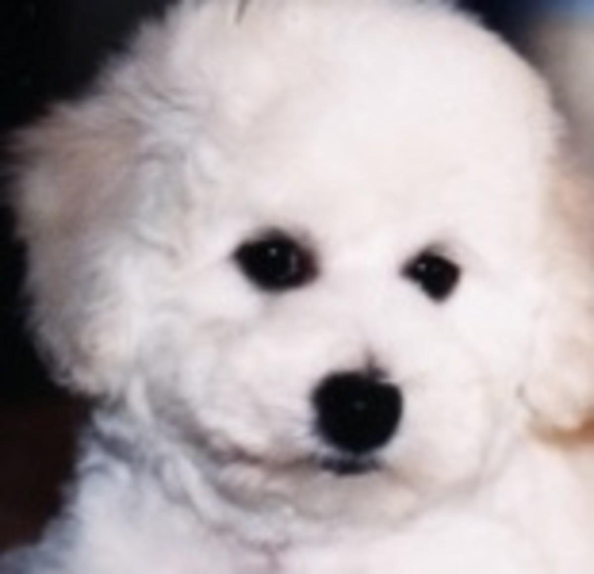 Hello I'm a Bichon Puppy