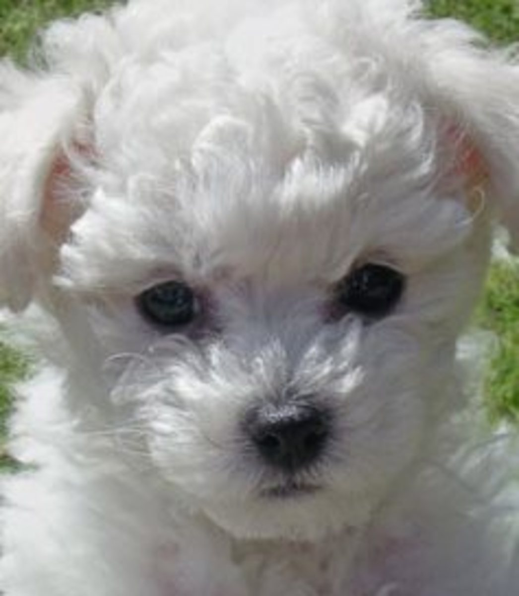 Bichon Puppies how cute are they?