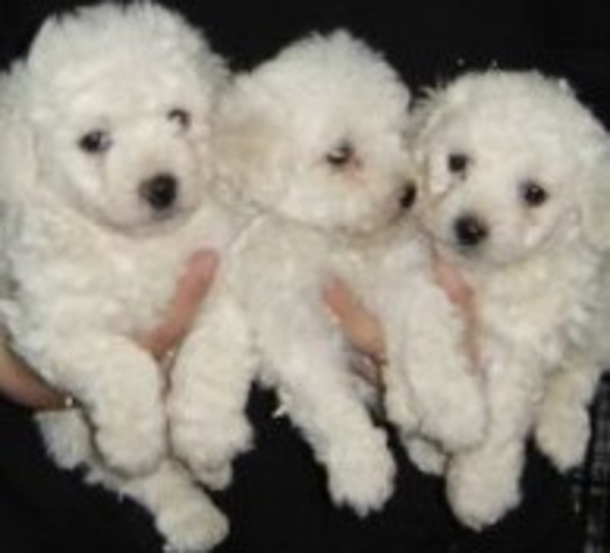 Bichon Puppies so Lovely