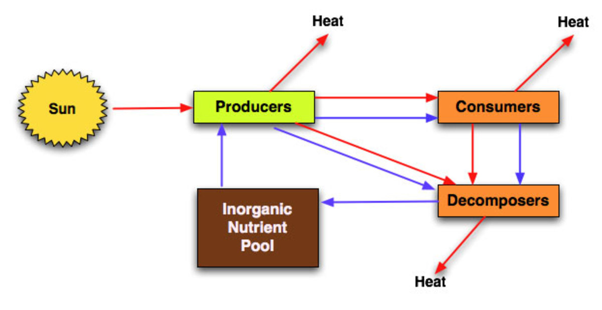 Diagram of the transfer of energy and heat loss in an ecosystem