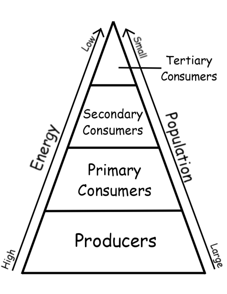 Energy transfer in an ecosystem, pyramid model