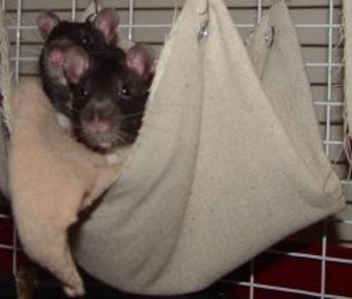 rat-in-the-toilet