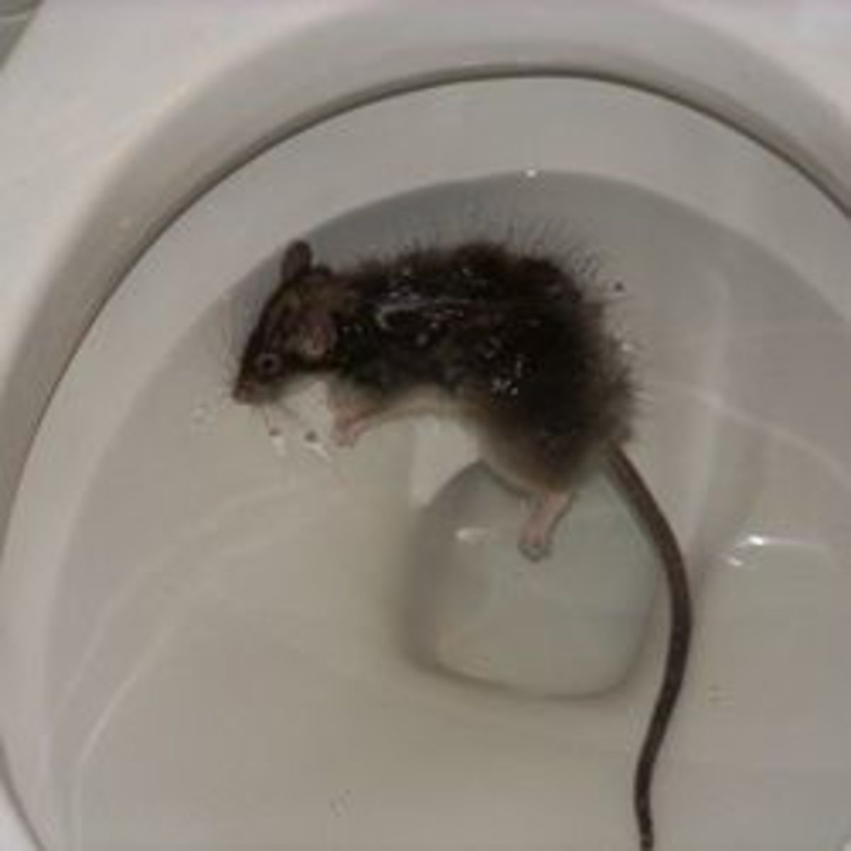 Dead rat in the toilet