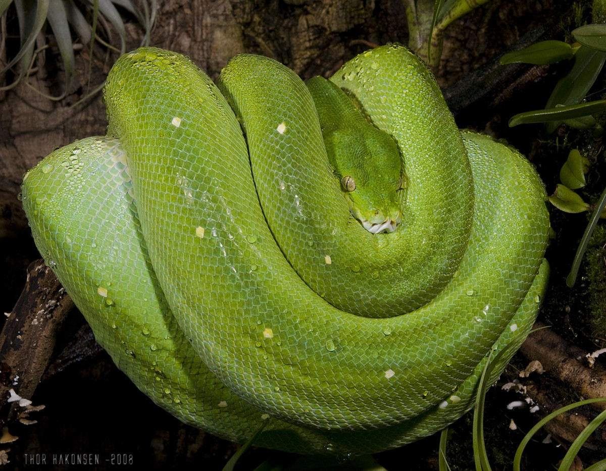 Green Tree Phytons are naturally constrictors. They seemed to be at rest but have really clever hunting strategies.