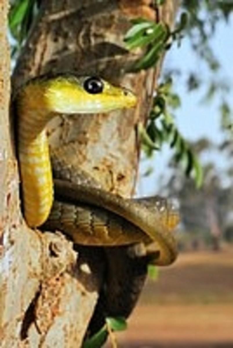 A common non-venomous green tree snake