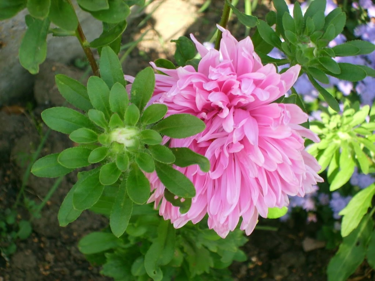 asters-choose-between-annuals-or-perennials