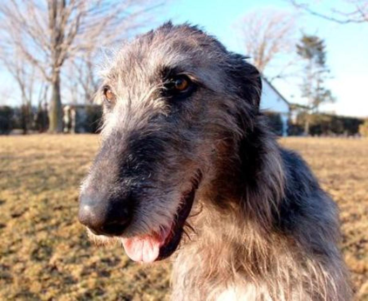 Deerhound 4