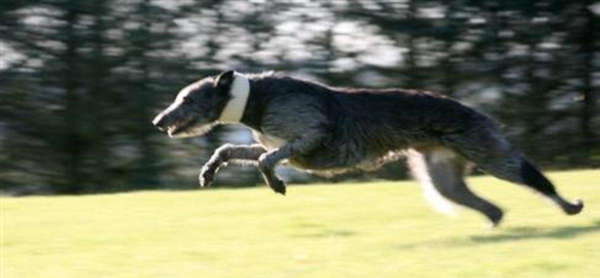 Deerhound 7