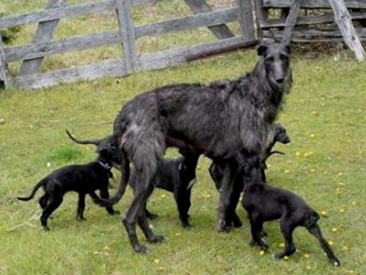 Deerhound 9