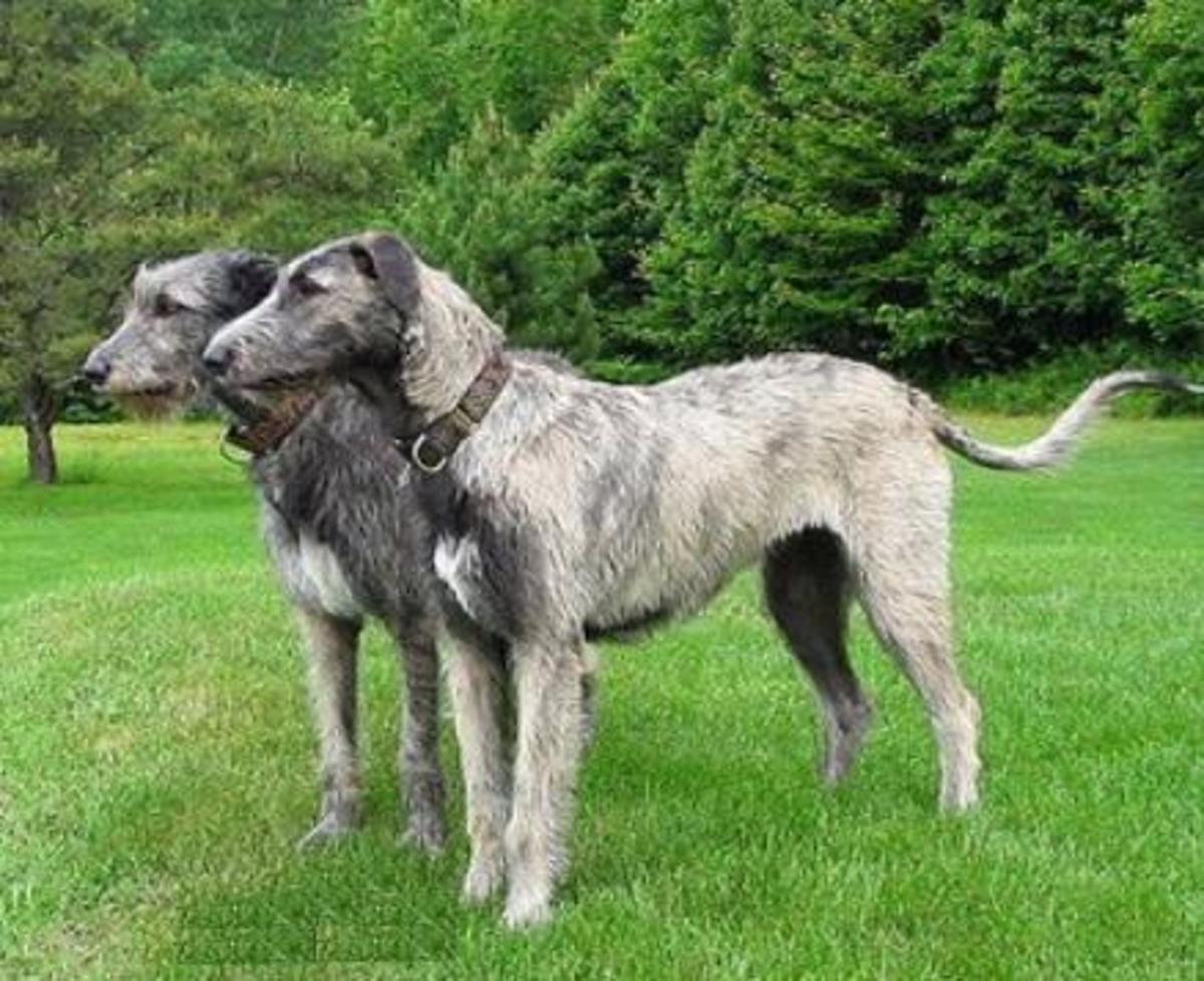 Deerhound 10