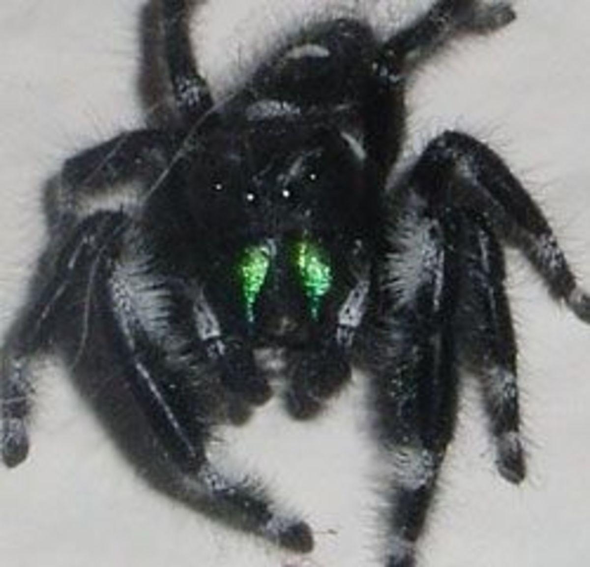 Daring Jumping Spider: Phidippus Audax