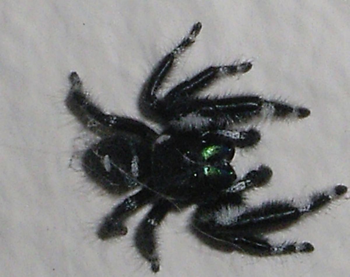 daring-jumping-spider