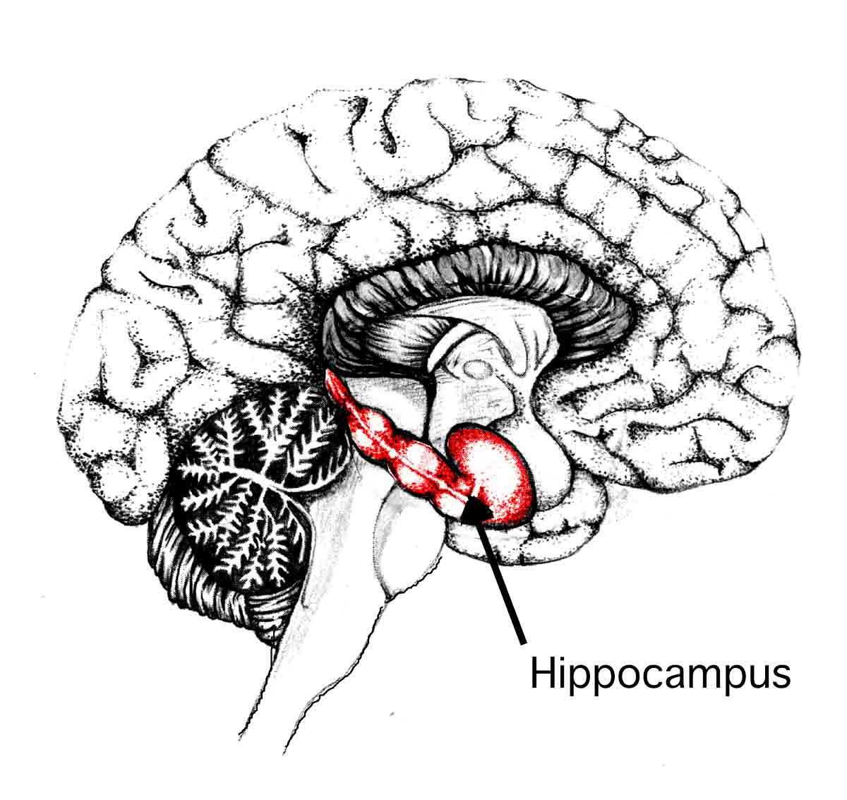 The hippocampus as shown in this Harvard Medical School diagram. Actual shrinkage of this vital area has been documented in the scans of incest survivors.