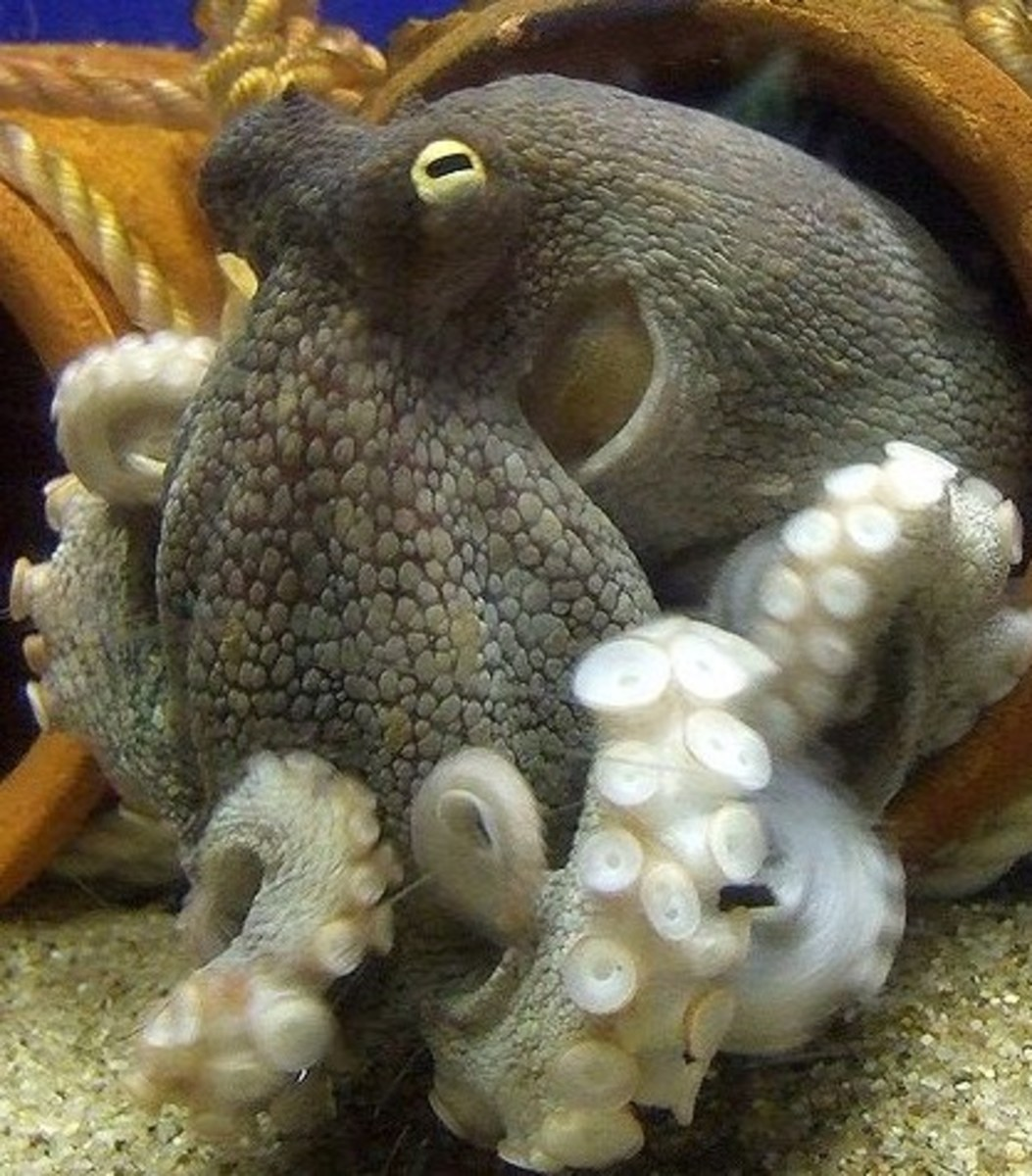 The octopus is a mollusk and considered the smartest invertebrate.