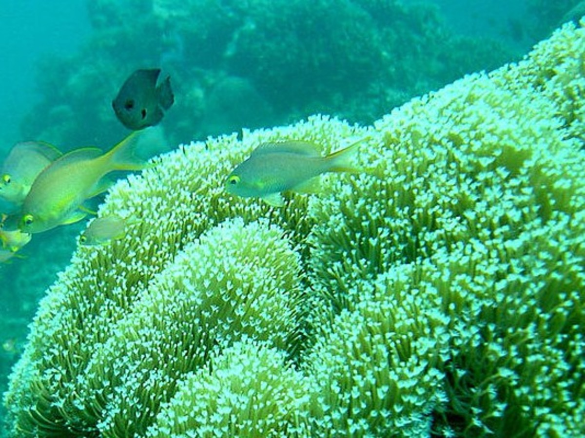 Tiny corals are the tiny builders of massive reefs